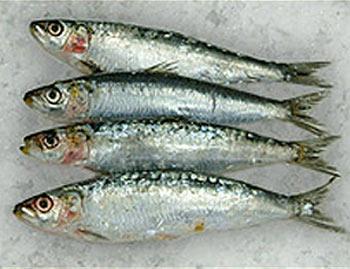 Le grandi qualità della sardina