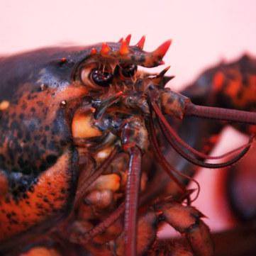 Aragosta regina dei crostacei