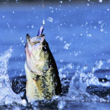 Il branzino: stupendo pesce di mare