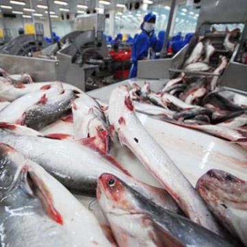 Pangasio informazioni sul pesce for Un pesce allevato in acque stagnanti
