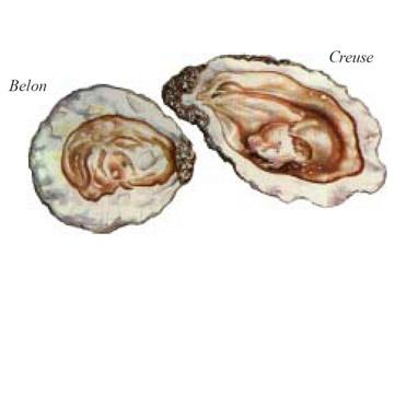Tipi di ostriche